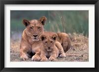 Framed Lions, Okavango Delta, Botswana