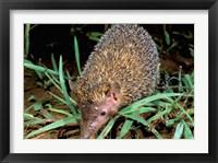 Framed Madagascar, Ankarana, Greater Hedgehog tenrec wildlife