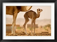 Framed Mauritania, Guelb Jmel, Little dromedary at the well