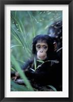 Framed Infant Chimpanzee, Tanzania