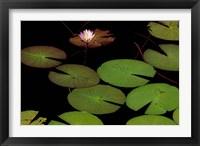 Framed Lily Pads, Okavango Delta, Botswana