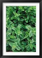 Framed Mint Leaves for Brewing Traditional Tea, Morocco