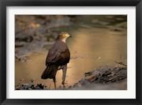 Framed Madagascar, Eastern dry forest. Henst's Goshawk bird