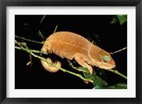 Framed Malagasy Chameleon on Branch, Montagne D'Ambre National Park, Madagascar