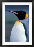 Framed King Penguin, South Georgia Island, Antarctica