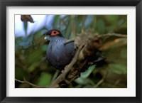 Framed Madagascar, Ranamafana, blue pigeon, bird