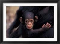 Framed Infant Chimpanzee, Gombe National Park, Tanzania