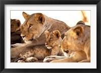 Framed Lion cub among female lions, Samburu National Game Reserve, Kenya