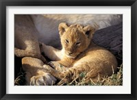 Framed Kenya, Masai Mara. Six week old Lion cub (Panthera leo)