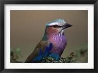 Framed Kenya, Masai Mara, Lilac-breasted Roller bird