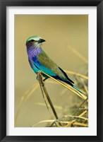 Framed Lilac-Breasted Roller bird, Mana Pools NP, Zimbabwe