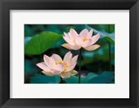 Framed Lotus Flower in Blossom, China
