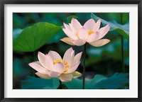 Framed Lotus Flower in Blossom, China