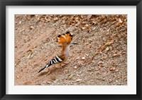 Framed Madagascar. Madagascar Hoopoe, endemic bird