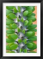 Framed Madagascar, Dry Spiny Forest, cactus, succulent