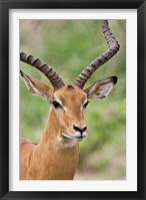 Framed Male Impala, Tanzania