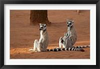 Framed Madagascar, Berenty Reserve. Ring-tailed Lemurs