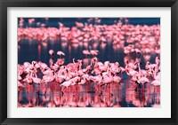 Framed Lesser Flamingos, Lake Nakuru, Kenya