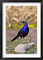 Framed Longtailed Glossy Starling bird, Maasai Mara Kenya