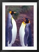 Framed King Penguins, South Georgia Island, Antarctica