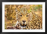 Framed Leopard Profile at Africat Project, Namibia