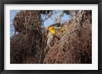 Framed Madagascar, Ifaty, Sakalava Weaver bird