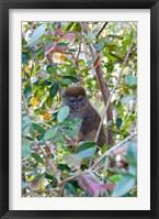 Framed Madagascar, Perinet, Eastern Grey Bamboo Lemur