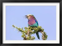 Framed Lilac-breasted Roller with a walking stick insect, Serengeti, Tanzania
