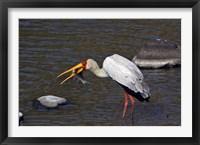 Framed Kenya, Masai Mara. Yellow-billed stork, fish prey