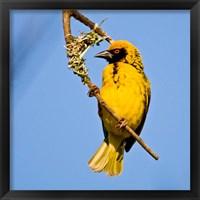 Framed Masked Weaver bird, Drakensberg, South Africa
