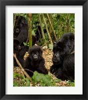 Framed Group of Gorillas, Volcanoes National Park, Rwanda