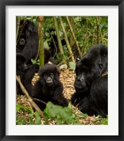 Framed Group of Gorillas, Volcanoes National Park, Rwanda