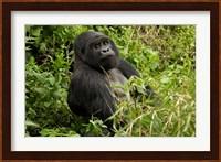 Framed Mountain Gorilla, Volcanoes National Park, Rwanda