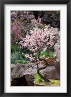 Framed Pink spring blooms on tree, Yu Yuan Gardens, Shanghai, China
