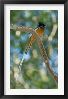 Framed Paradise-Flycatcher bird, Ankarafantsika, Madagascar