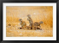 Framed Namibia, Etosha NP. Cape Ground Squirrel