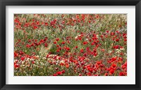 Framed Poppy Wildflowers in Southern Morocco