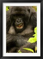 Framed Mountain Gorilla, Volcanoes NP, Rwanda