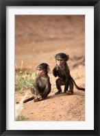 Framed Olive Baboon primates, Masai Mara GR, Kenya