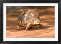 Framed Radiated Tortoise in Sand, Madagascar