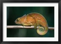 Framed Parson's Chameleon lizard, Perinet Reserve, Madagascar