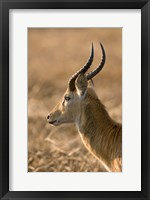 Framed Puku, Busanga Plains, Kafue National Park, Zambia