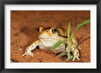 Framed Red Toad, Mkuze Game Reserve, South Africa