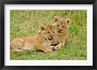 Framed Pair of lion cubs playing, Masai Mara Game Reserve, Kenya