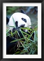 Framed Panda bear, Panda reserve