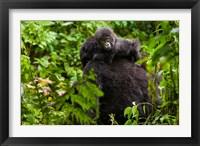 Framed Gorilla carrying baby, Volcanoes National Park, Rwanda