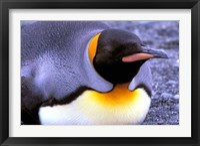 Framed Penguin, Sub-Antarctic, South Georgia Island