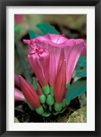 Framed Pink Flower with buds, Gombe National Park, Tanzania