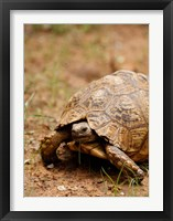 Framed Mountain tortoise, Mkuze Game Reserve, South Africa