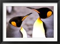 Framed Two Penguins, Sub-Antarctic, South Georgia Island